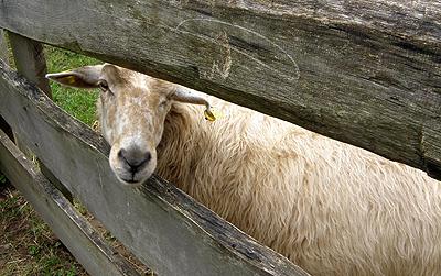 Schaf: In der Landwirtschadt haben viele der Familiennamen ihren Ursprung, die aus dem Handwerk kommen